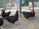 RI Red Large Fowl